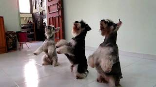 Download Fun & Amazing SYNCHRONIZED TRIPLE Dog Tricks performed by my three mini schnauzers Video