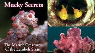 Download Mucky Secrets (full) - The Marine Creatures of the Lembeh Strait Video