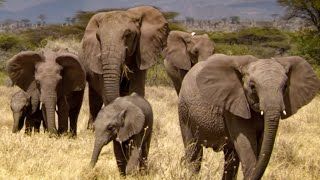 Download Elephant Matriarch Shows Kindness To Orphans | This Wild Life | BBC Video