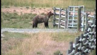 Download Grizzly Bear chased off by cows Yellowstone Video
