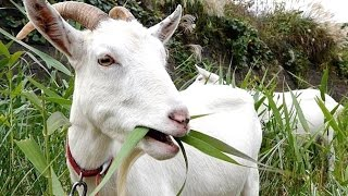 Download GOAT FARM - Wild Life Animal Planet - Video Kambing Lucu - ANGON WEDUS [HD] Video