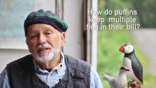 Download How do puffins keep fish in their bill? Video