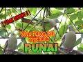 Download Wooww!! Gak Nyangka!! Burung PUNAI nya Besar-besar & banyak banget!! Video