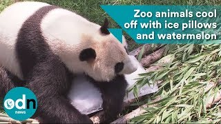 Download Zoo animals cool down with ice pillows and watermelon Video