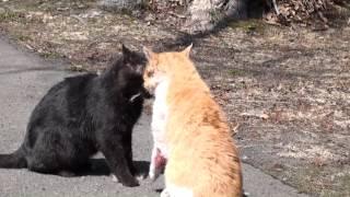 Download 野良猫の喧嘩 (出血がありますので注意) Cat Fight Video