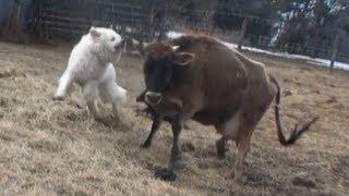 Download Livestock Guardian Dog Goes Crazy Video