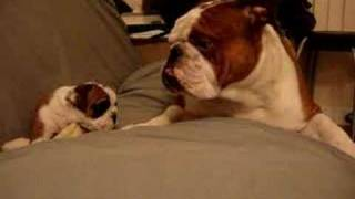 Download English Bulldog Father meets daughter first time Video
