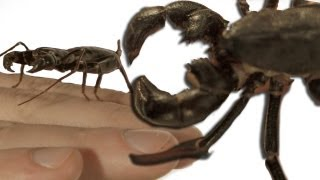 Download Slow motion whip scorpion spraying vinegar *WORLD FIRST?* Slo Mo #4 - Earth Unplugged Video