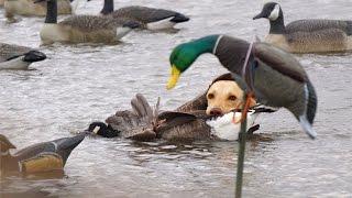 Download Missouri River Duck Hunting 2015 Video