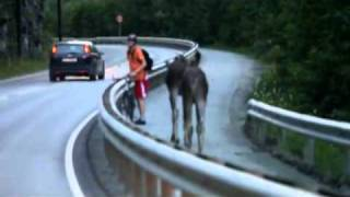 Download Two moose meets cyclist Video