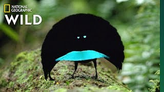 Download Rare Footage of New Bird of Paradise Species Shows Odd Courtship Dance | Nat Geo Wild Video