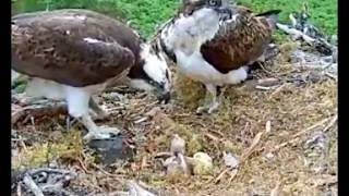 Download Chick #2 has died. Louis with flounder @ 1150hr, #1 fed a little - ©Woodland Trust, Arkaig Video