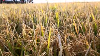 Download All About Australian Rice (Full Video) Video