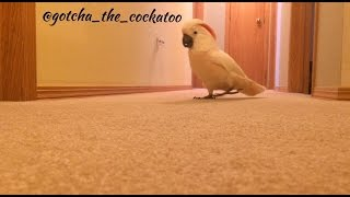 Download Crazy Cockatoo is running and yelling in the hallway again! 😂 Video