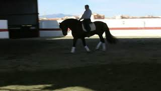 Download CEUS - PRE stallion of class, dressage and high school master for sale thebestspanishhorses Video