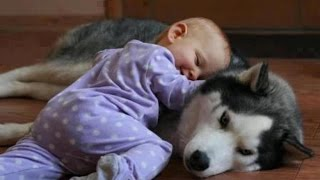Download Funny Husky Dogs Love Babies Compilation 2015 || AHF Video