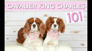 Download Cavalier King Charles Spaniels 101   Dog Facts   Herky The Cavalier Video