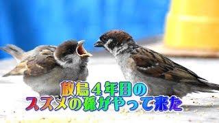 Download Ep26 3年前に放鳥したスズメの子供が子供を連れてやって来た! Video