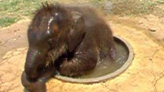Download Cute Baby Elephant Plays In a Drinking Basin Video