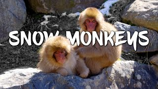 Download Snow Monkeys in Japan 5K Retina 60p (Ultra HD) Video