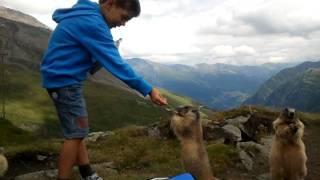 Download Marmotte sul Grossglockner Video