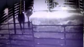 Download Cougar Attempts Attack Of A Foal / Baby Horse - Horse Riders Tease Lion Video