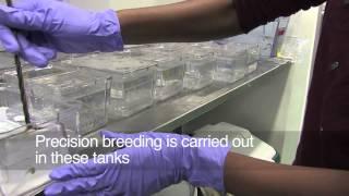 Download Breeding Zebrafish Video