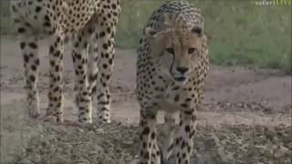 Download Safari Live : The Cheetah Brothers on drive this morning with Brent April 16, 2017 Video