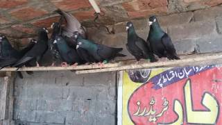 Download HIGH FLYING PIGEON Video