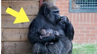 Download This Baby Gorilla Was Acting Up In Front Of A Crowd, But Dad Quickly Put Him In His Place Video