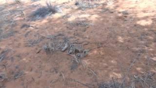 Download Meerkats playing Video