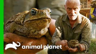 Download Invasive Cane Toads Are Threatening Australia's Native Wildlife | Jeremy Wade's Dark Waters Video