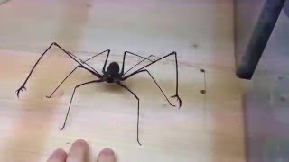 Download Euphrynichus amanica - Whipspider BITE ME ! Video