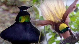 Download Bird Of Paradise Courtship Spectacle | Planet Earth | BBC Earth Video