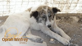 Download A Dog Who Saved Lives in Afghanistan Finds a Home with a U.S. Soldier | The Oprah Winfrey Show | OWN Video