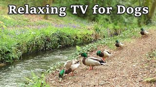 Download Relaxing TV for Dogs - 8 Hours of Relax Your Dog TV at The Babbling Brook ✅ Video