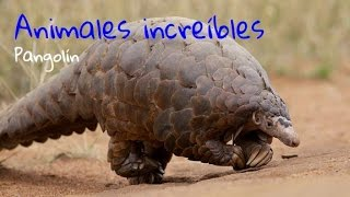 Download Animales increíbles - Pangolín Video