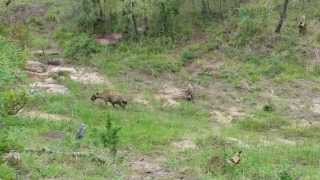 Download Pack of Wild dogs versus Clan of Hyenas Video
