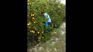 Download Cosechando naranja en florida 2016 Video