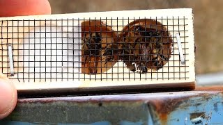 Download Honey Bees When and How to Re Queen a Hive with a new Queen Bee, Queen Replacement Video