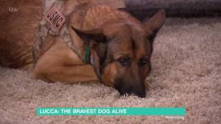 Download Lucca: The Bravest Dog Alive | This Morning Video