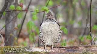 Download Ruffed Grouse Drumming in Maine Video