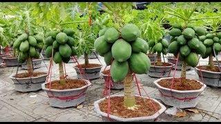 Download Uau! Mamão anão plantado em vaso - Super fácil e rápido Video