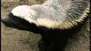 Download Honey Badger - South Africa Travel Channel 24 Video