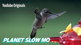 Download How Fast Can a Hummingbird Flap? Video