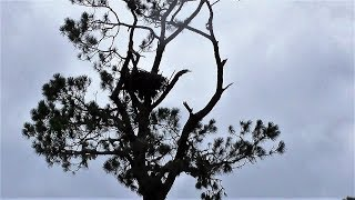 Download SWFL Eagles The Nest & Nest Tree Survive Hurricane Irma~A Look At The Area 09-11-17 Video