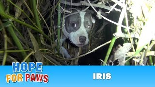 Download Finding Iris: Saving a homeless injured dog + an unexpected surprise!!! Please share. Video