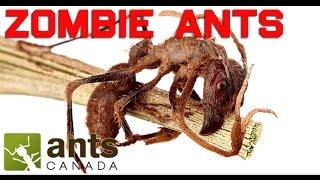 Download Zombie Ants, Killer Flies, Alien Worms | Ant Endoparasites Video