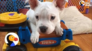 Download Puppy With Deformed Elbows Finds A Foster Home | The Dodo Video