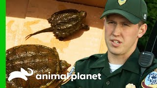 Download Rescuing Snapping Turtles, and Investigating Illegal Owl Taxidermy | North Woods Law Video